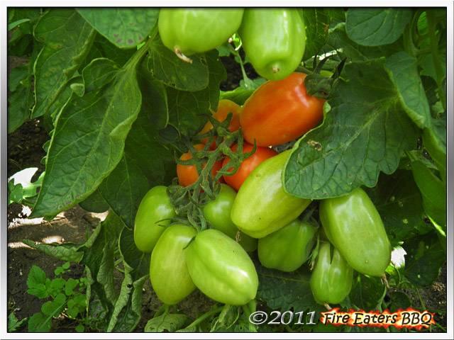 [Bild: Tomaten0811_02.JPG]