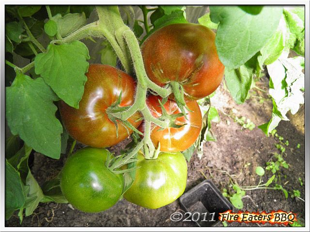 [Bild: Tomaten0811_08.JPG]