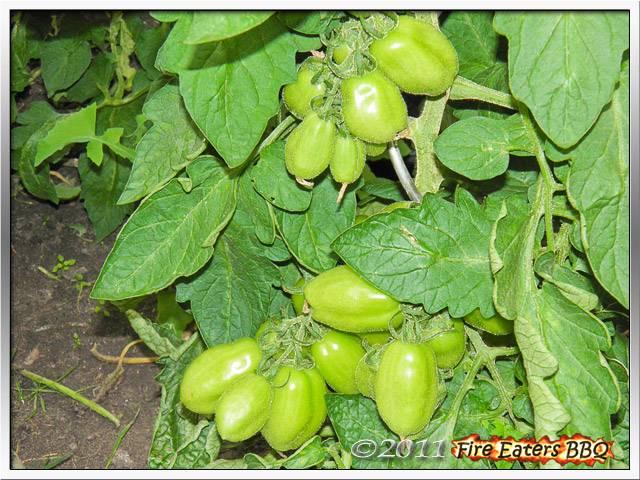[Bild: Tomaten0711_04.JPG]