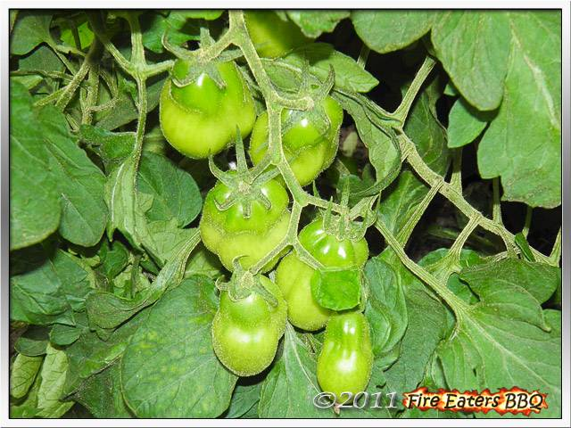[Bild: Tomaten0711_06.JPG]