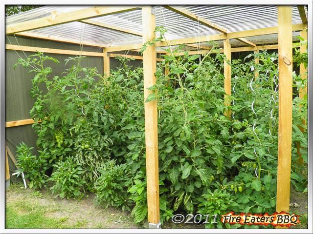 [Bild: Tomaten0711_08.JPG]