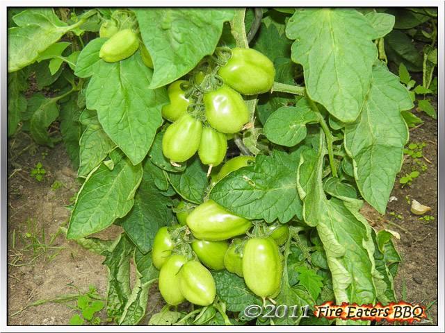 [Bild: Tomaten0711_11.JPG]