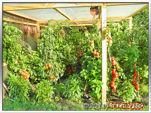 [Bild: Tomaten0911_01.JPG]