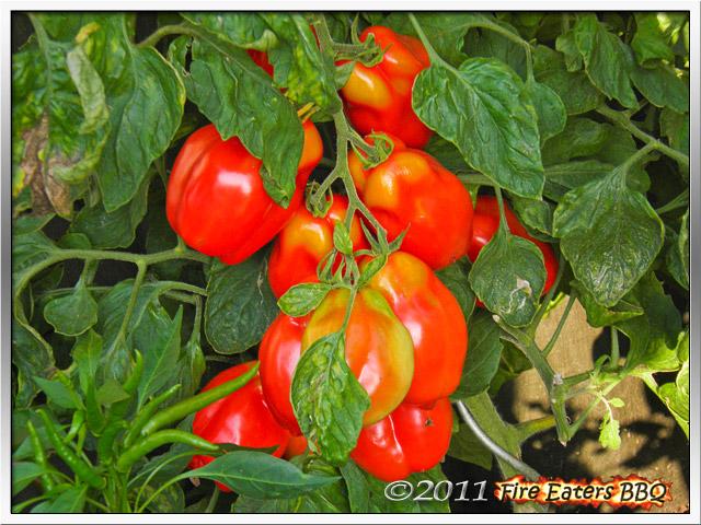 [Bild: Tomaten0911_02.JPG]