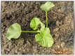 Melonenpflanze