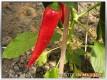 Edes Füszerpaprika kurz vor der Ernte