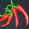 Chilisaison 2011 – Die erste kleine Ernte