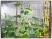 Die Salatgurken haben das Dach erreicht