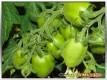 Früchte einer San Marzano Tomate