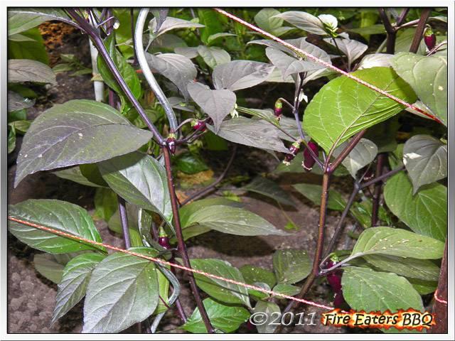 Bild - Pimenta da Neyde mit neuen Beeren