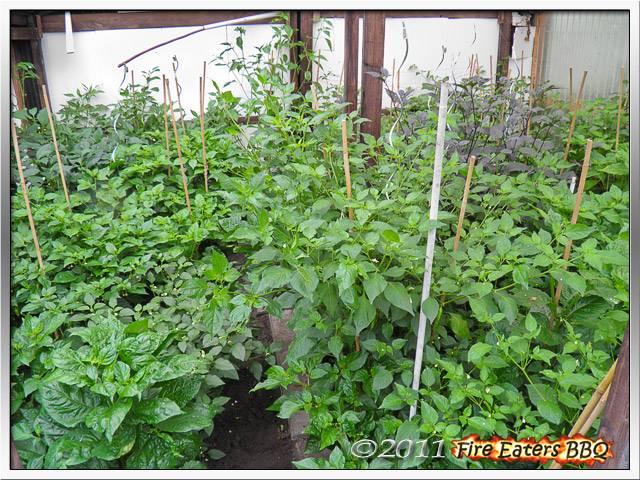 Bild - Mit Chilipflanzen bewachsenes Gewächshaus
