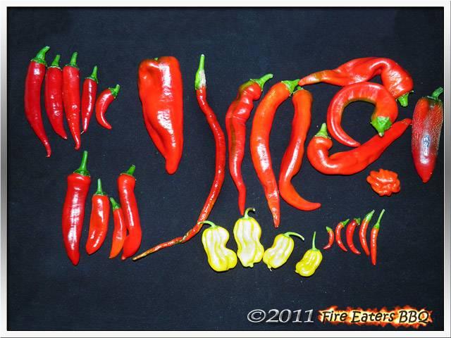 Bild - eine Chili- und Paprikaernte