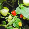Chilisaison 2011 – immer noch Schnecken und reife Früchte