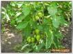 Früchte einer San Marzano