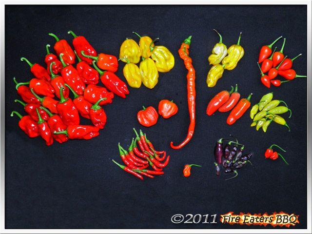 Bild - Reife Chilis: CAP 1035 Type I, Habeneros, Madame Jeanette und einige andere Sorten
