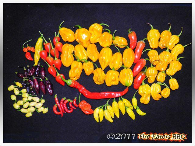 Bild - reife Chilis, sehr viel Habaneros, Madame Jeanette und andere scharfe Beeren