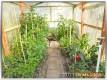 Bild - Paprikapflanzen im Gewächshaus