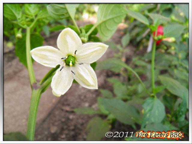 Bild - Blüte einer Füszer Csípös Paprika