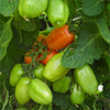 Neues von unseren Chilis und Tomaten