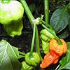 Jede Menge Tomaten, Chili und Paprika