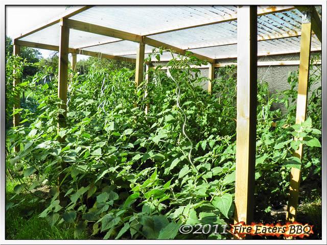 Bild - Tomaten und Physalispflanzen