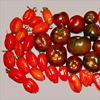 Die erste richtige Tomatenernte in diesem Jahr