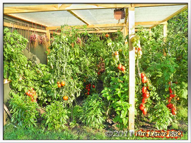 Bild - Große Tomatenpflanzen kurz vor der Ernte unter einem Schutzdach
