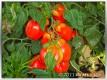 Tomate Scatolone