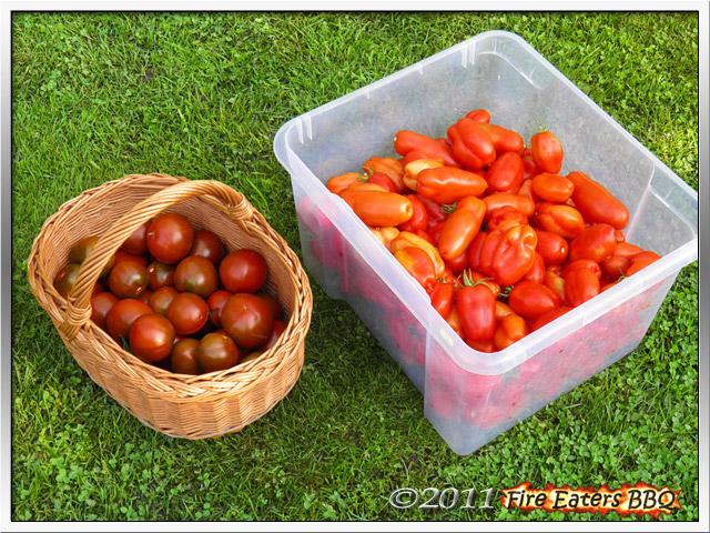 Bild - eine reiche Tomatenernte von über 22 Kilogramm