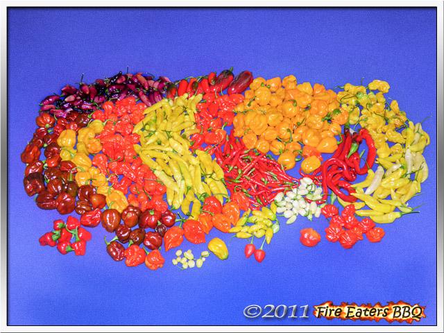 Reife Chilis verschiedener Sorten nach der Ernte