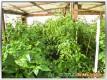Ein Gewächshaus voller Chilipflanzen