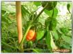 Früchte an einer Devil's Tongue Chilipflanze