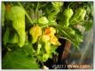 Unreife Bhut Jolokia an der Pflanze
