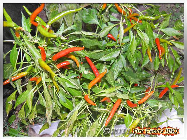Eine Thai Red Hot Chilipflanze mit leichten Frostschäden