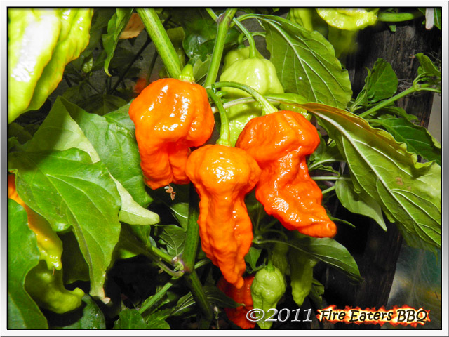 Ein paar reife Bhut Jolokia Improved Strain II
