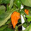 Goldener Oktober und viele Chilis