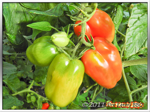 Reifende Scatolone-Tomaten.