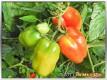 Abreifende Tomaten