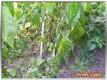 Frostschäden bei den Chilis