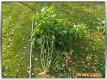 Eine ausgerissene Chilipflanze
