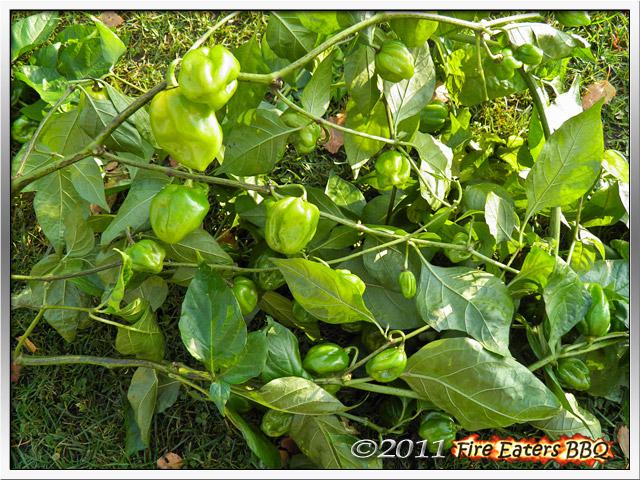 Ein Zweig mit grünen Chilis