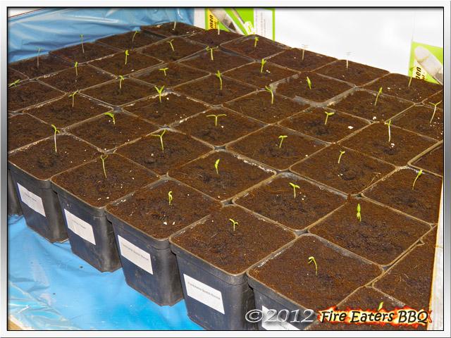 Chilipflanzen kurz nach dem Pikieren
