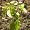 Chilizucht 2012 – Quellen der Samen und Aussaat in Perlite