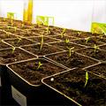 Chilizucht 2012 – Das Pikieren der Pflanzen