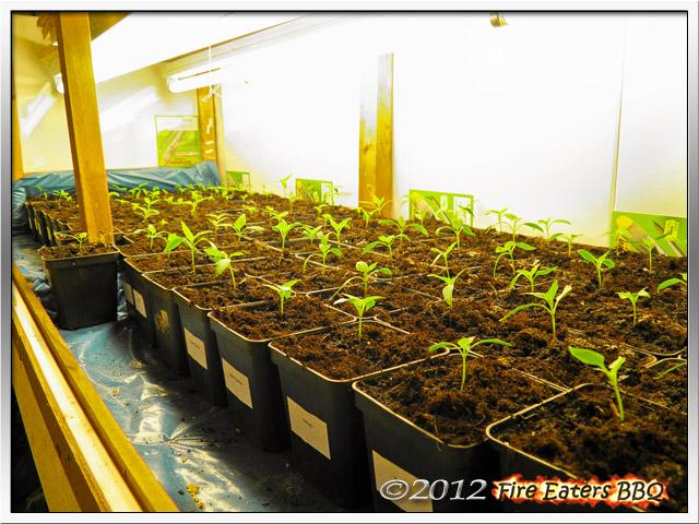 Chili- und Paprikapflanzen unter künstlicher Beleuchtung