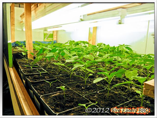 Chili- und Paprikapflanzen unter Kunstlicht