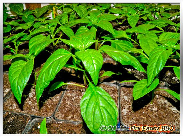 Chilipflanzen nach ca. 6 Wochen unter Kunstlicht, gedüngt mit Algoflash
