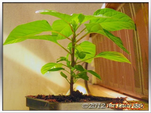 Eine Chilipflanze mit Verzweigungen.