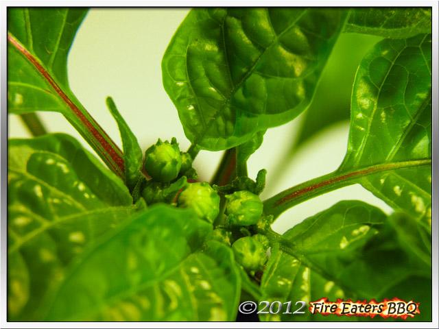 Blütenknospen an einer Chilipflanze.