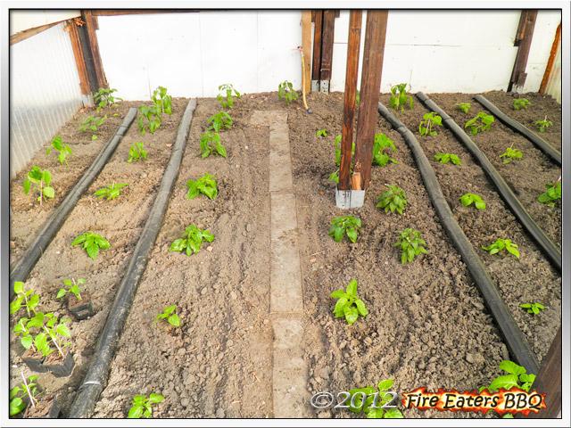 Das bepflanzte Chili-Gewächshaus